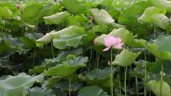 茨城県立歴史館・蓮の花