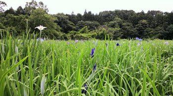 青山花しょうぶ園