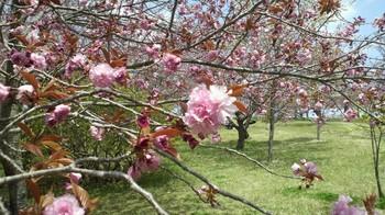 静峰ふるさと公園・八重桜