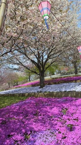 八重桜まつり・静峰ふるさと公園