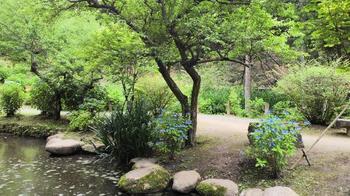 アジサイ水戸市松本町・保和苑